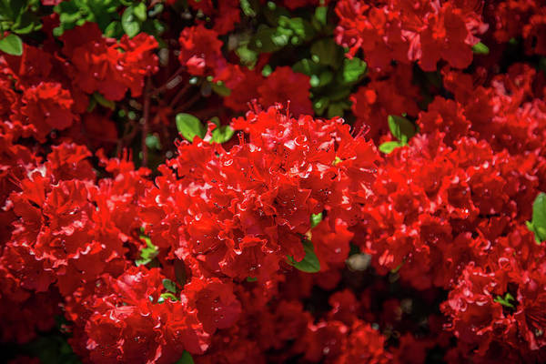 Photograph - Red Flowers by Lora J Wilson