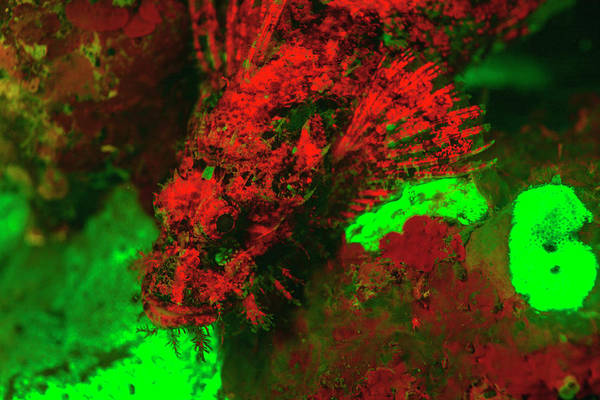 Wall Art - Photograph - Red Fluorescing Scorpionfish Surrounded by Stuart Westmorland
