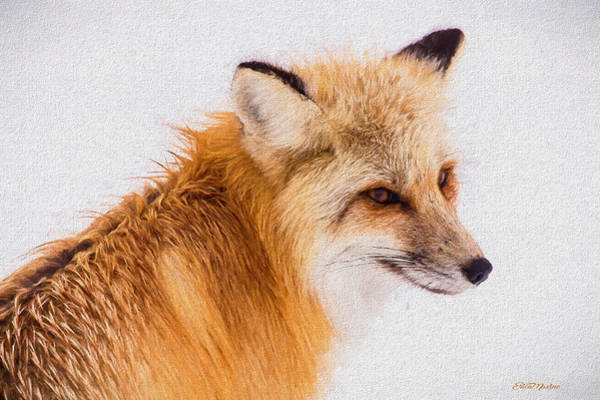 Painting - Red Fox 731 - Painted by Ericamaxine Price