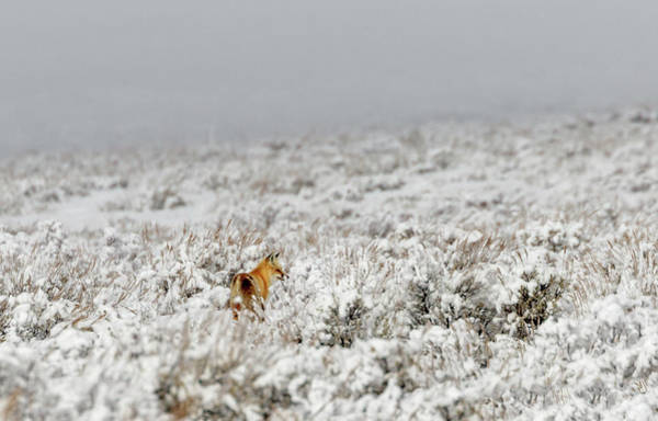 Photograph - Red Fox After Snowstorm by Ronnie and Frances Howard