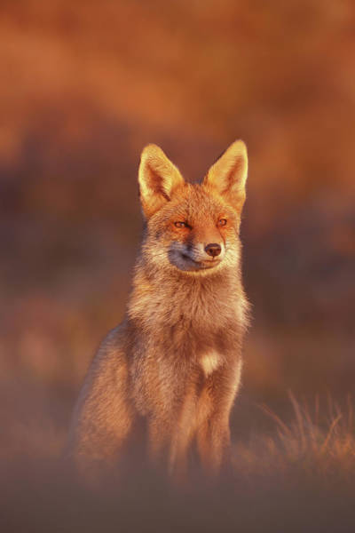 Wall Art - Photograph - Red Fox At Sunset Series - The Lightness Of Being by Roeselien Raimond
