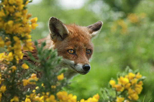 Photograph - Red Fox by David Tipling