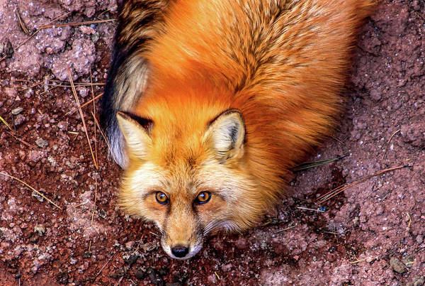 Red Fox In Canyon, Arizona Art Print