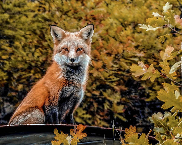 Wall Art - Photograph - Red Fox In Fall Colors by Dawn Key