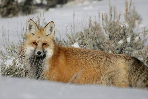 Painting - Red Fox In The Snow by Fox Art and Photography