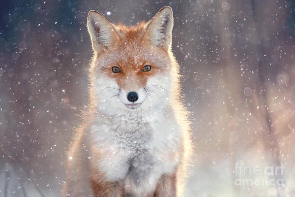 Alert Wall Art - Photograph - Red Fox In Winter Forest Pretty by Kichigin