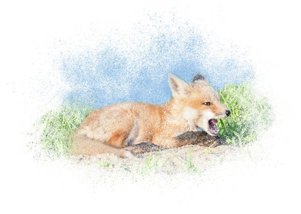 Photograph - Red Fox Kit #10 - Calling by Patti Deters