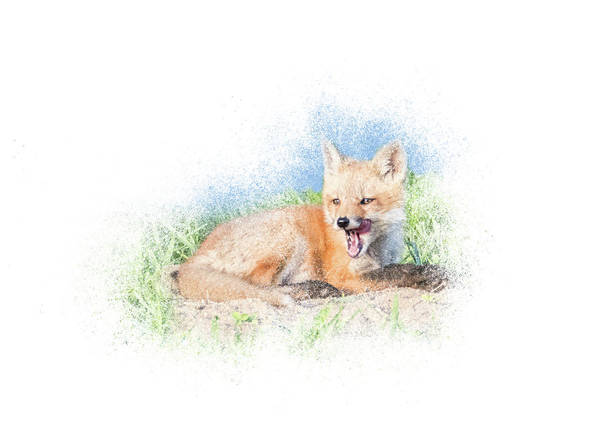Photograph - Red Fox Kit #11 - Yawn by Patti Deters