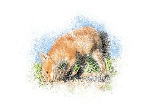 Photograph - Red Fox Kit #13 - Sniffing The Dirt by Patti Deters