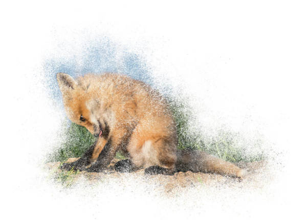 Photograph - Red Fox Kit #3 - Bashful by Patti Deters