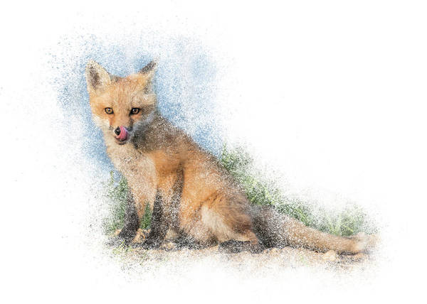 Photograph - Red Fox Kit #4 - Anticipation by Patti Deters