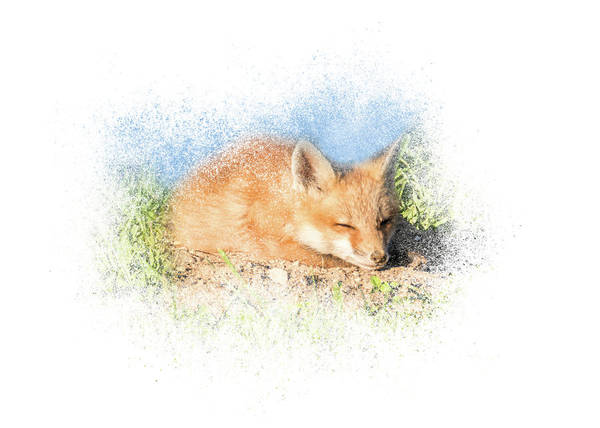 Photograph - Red Fox Kit #6 - Sleeping by Patti Deters