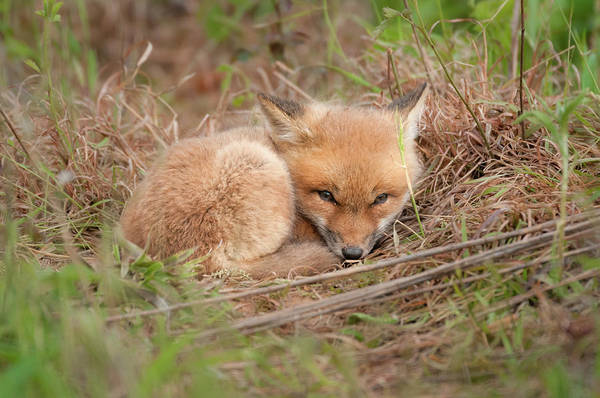 Photograph - Red Fox Kit - Resting by Todd Henson