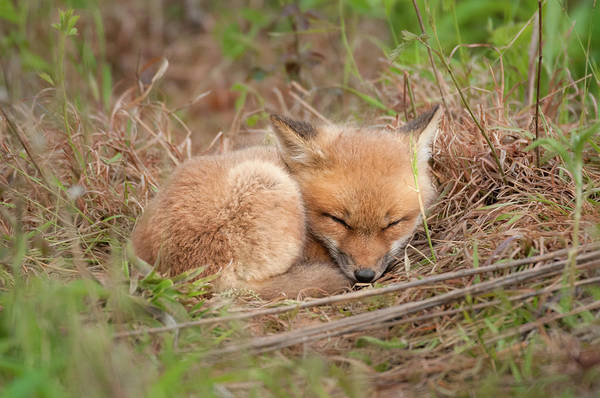 Photograph - Red Fox Kit - Sleeping #1 by Todd Henson