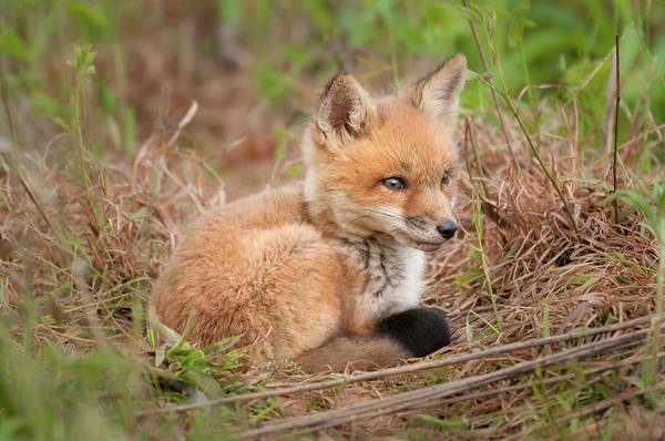 Photograph - Red Fox Kit - Watchful #1 by Todd Henson
