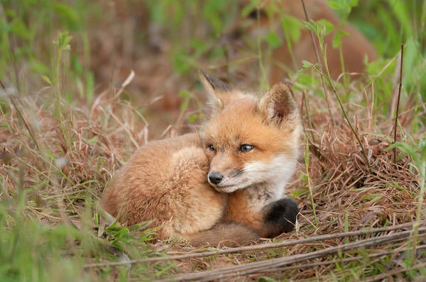 Photograph - Red Fox Kit - Watchful #2 by Todd Henson