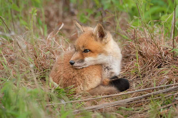 Photograph - Red Fox Kit - Watching Over Shoulder by Todd Henson