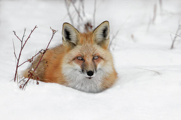 Photograph - Red Fox Resting by Ronnie and Frances Howard
