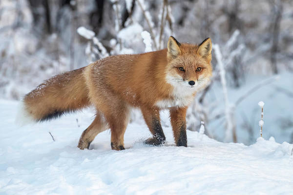 Wall Art - Photograph - Red Fox  Vulpes Vulpes  In Snow by Doug Lindstrand