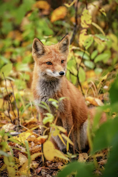 Wall Art - Photograph - Red Fox  Vulpes Vulpes  In The Campbell by Doug Lindstrand