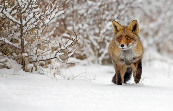 Alert Wall Art - Photograph - Red Fox Walks Through The Snow by Menno Schaefer