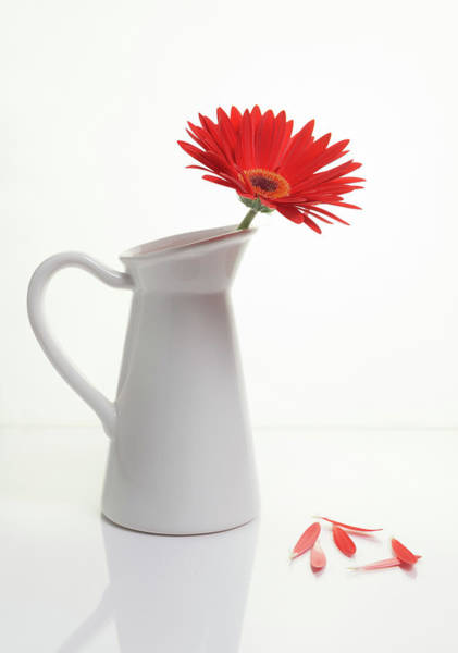 Photograph - Red Gazania Flower On A White Stylish Vase. Creative Still Life  by Michalakis Ppalis