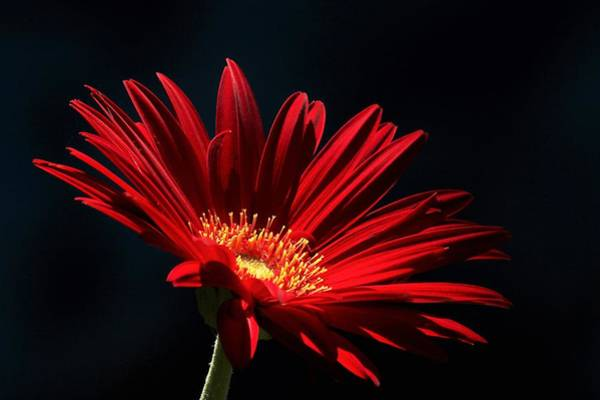 Photograph - Red Gerber Daisy In Spotlight by Sheila Brown