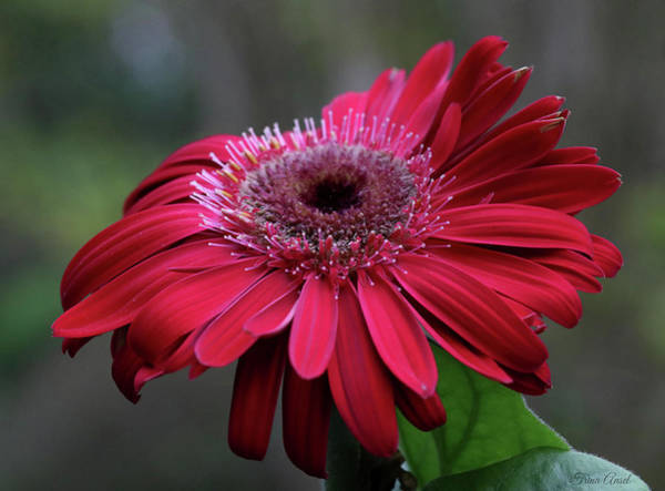 Photograph - Red Gerbera Daisy by Trina Ansel