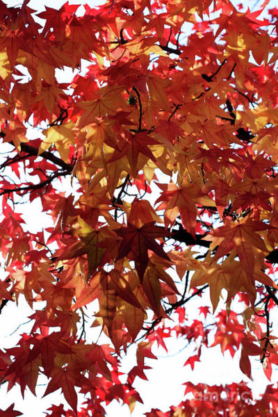 Tracy Hall Wall Art - Photograph - Red Gold Maples by Tracy Hall