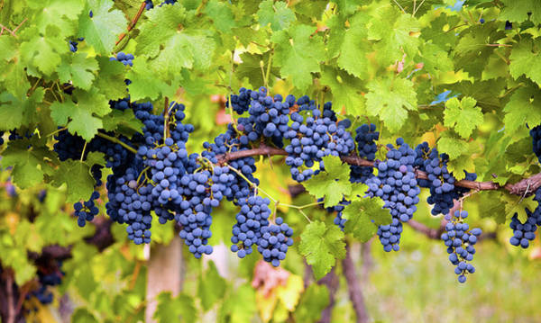 Ripe Grapes Photograph - Red Grape by Bamby-bhamby