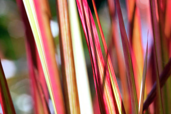 Ornamental Grass Photograph - Red Grass by Fotogaby