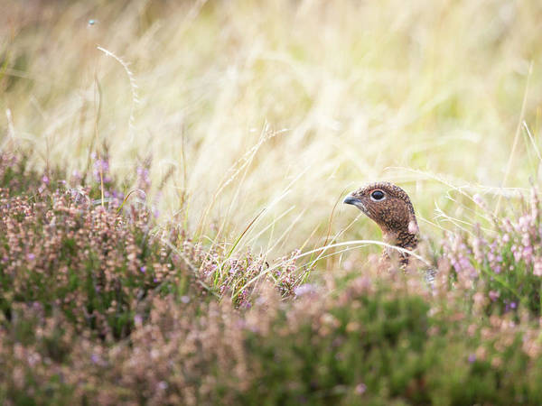 Wall Art - Photograph - Red Grouse by Anita Nicholson