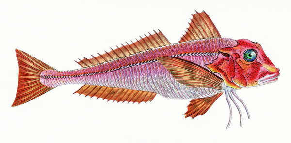 Photograph - Red Gurnard  by David Letts