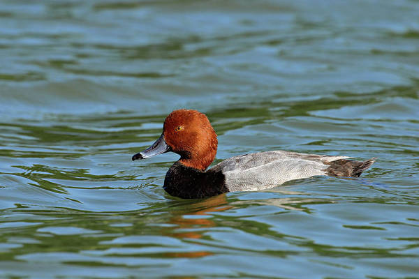 Photograph - Red Headed Duck by Ronnie and Frances Howard