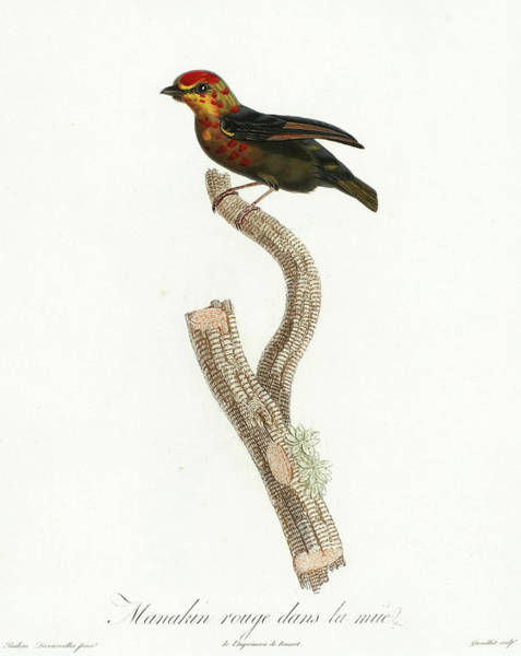 Colombian Wall Art - Painting - Red-headed Manakin by Anselme Gaetan Desmarest