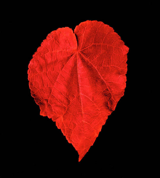 Photograph - Red Heart Leaf by Garry Gay