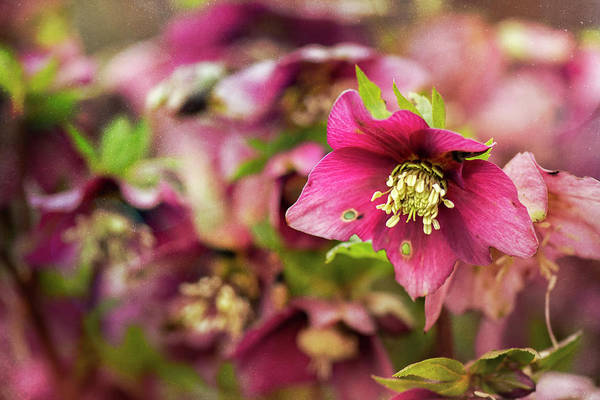 Wall Art - Photograph - Red Hellebore Flower - Vancouver - Floral Art by May Lo