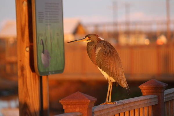Photograph - Red Heron 2 by Christy Pooschke
