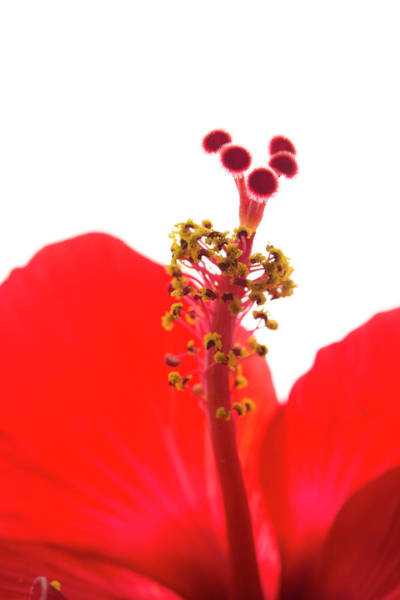 Red Hibiscus Macro Art Print