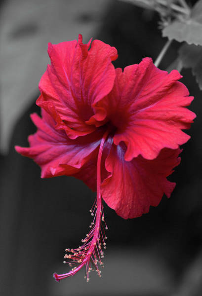 Red Hibiscus Portrait Art Print