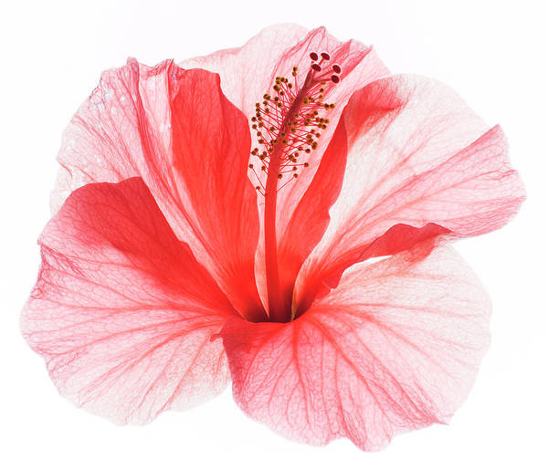 Freshness Photograph - Red Hibiscus by Studio 504