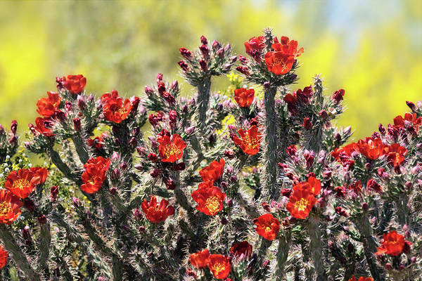 Photograph - Red Hot Cholla  by Saija Lehtonen