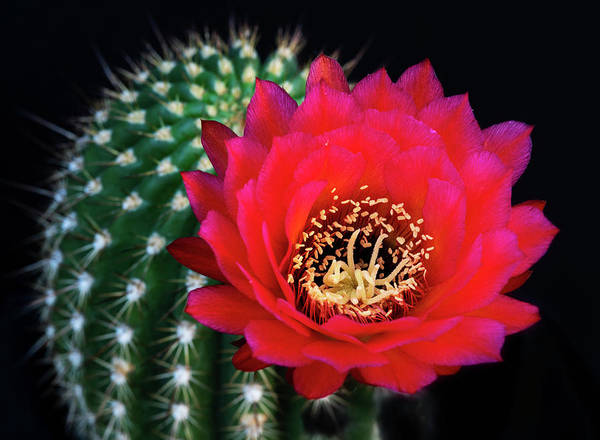 Photograph - Red Hot Torch Cactus  by Saija Lehtonen