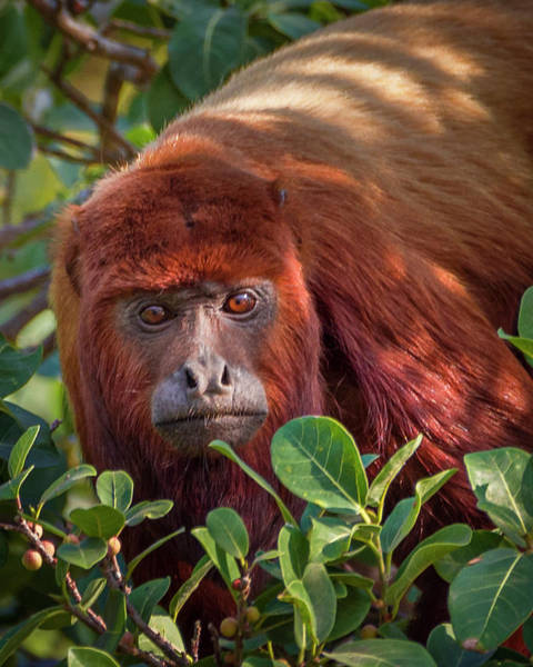 Photograph - Red Howler Monkey Hato Berlin Casanare Colombia by Adam Rainoff