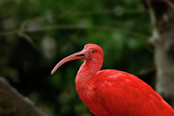 Photograph - Red Ibis by Ronnie and Frances Howard