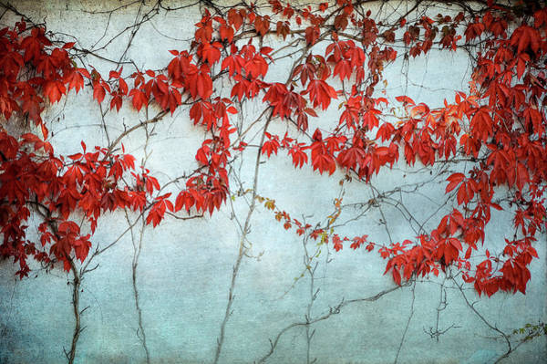 Photograph - Red Ivy  by Mary Lee Dereske