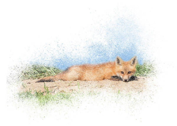 Photograph - Red Kit Fox #15 - Relaxing On Tummy by Patti Deters