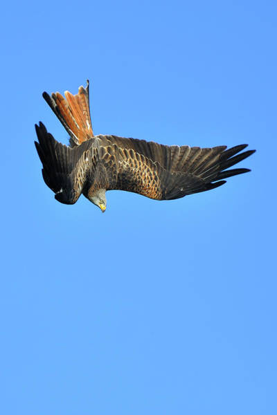 Upside Down Photograph - Red Kite Diving by Paul Earle Photography
