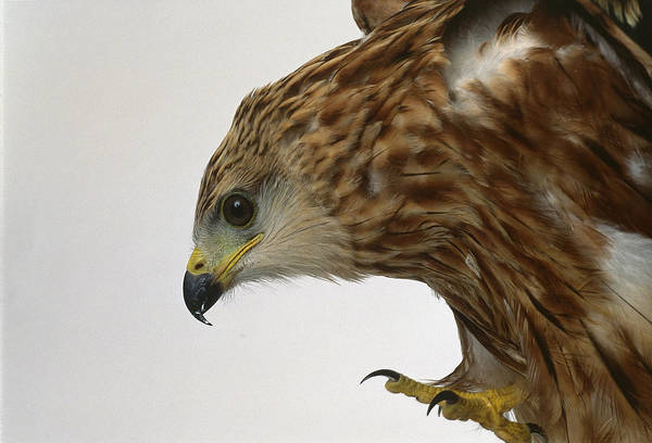 Accipitridae Wall Art - Photograph - Red Kite, Milvus Milvus, Captive by Les Stocker