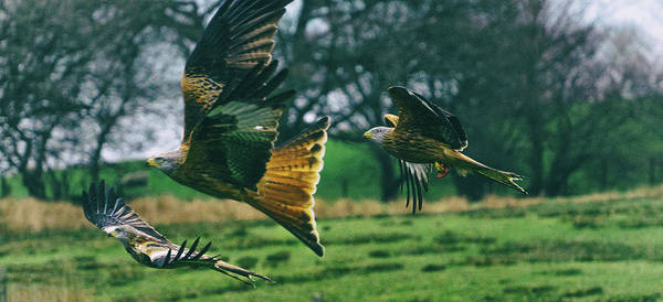 Twitcher Wall Art - Photograph - Red Kites. by Angela Aird